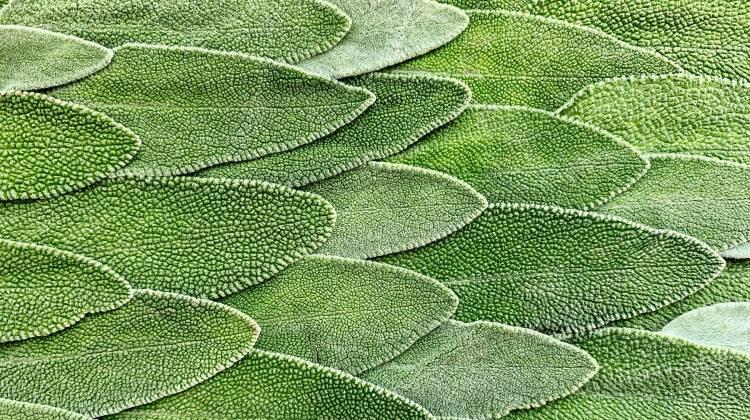 Los Beneficios de la Salvia para la Salud